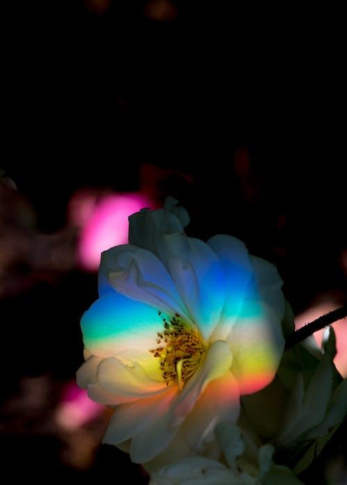 Gratis lagerfoto af blomst, flora, have, kronblade