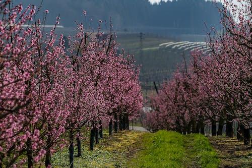 açık hava, ağaç, apple, bahar içeren Ücretsiz stok fotoğraf