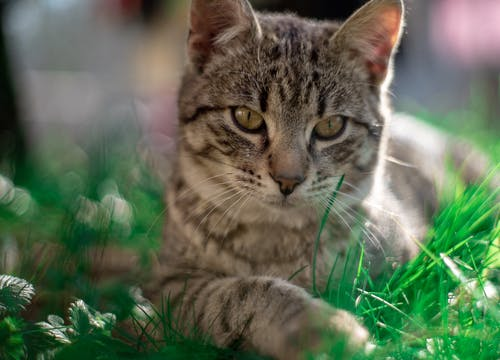Brown Tabby Cat on Green Grass