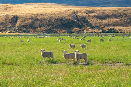 Herd of Sheep on Green Grass Field