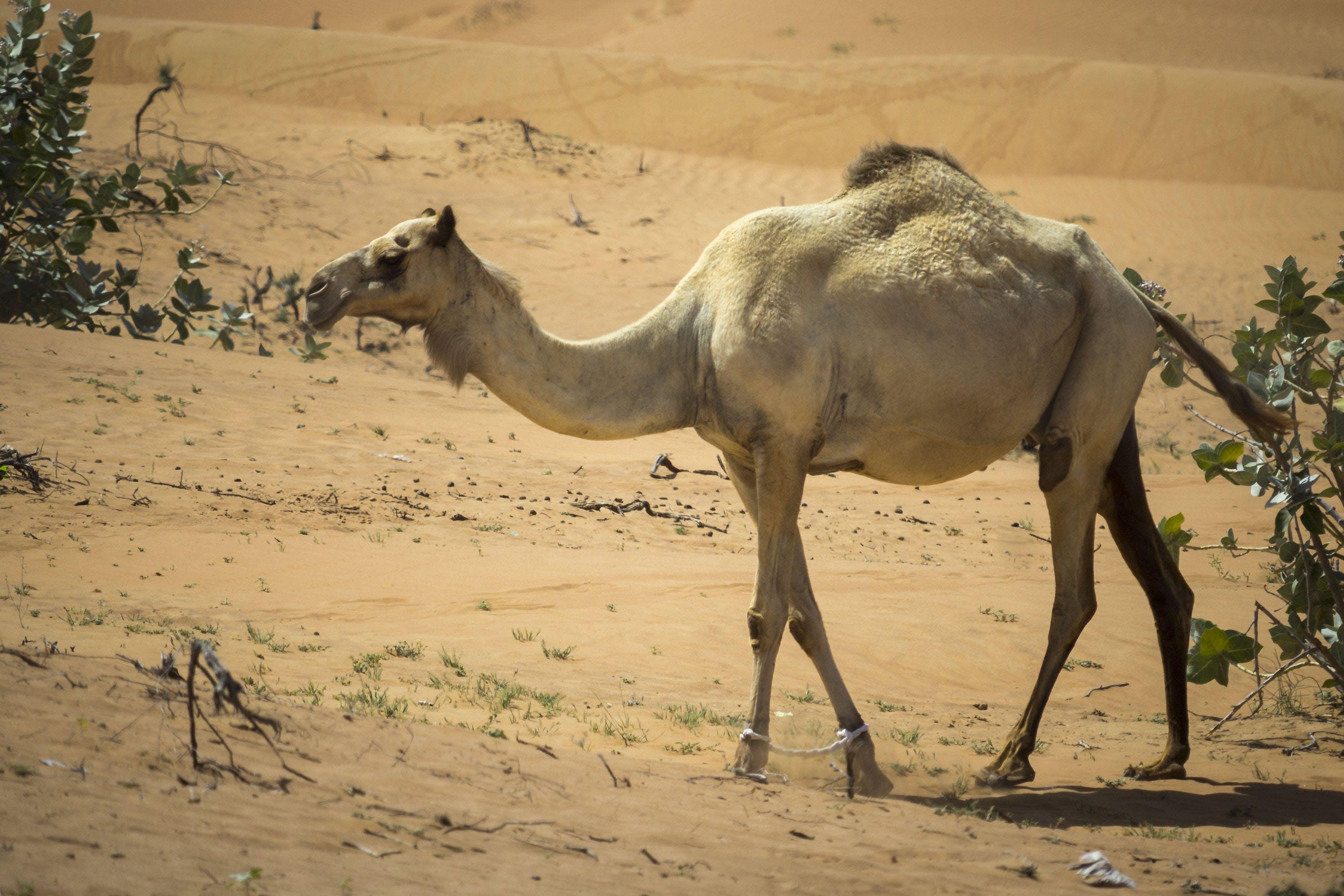 Kostenloses Stock Foto zu alleinig, caldo, cammello, deserto