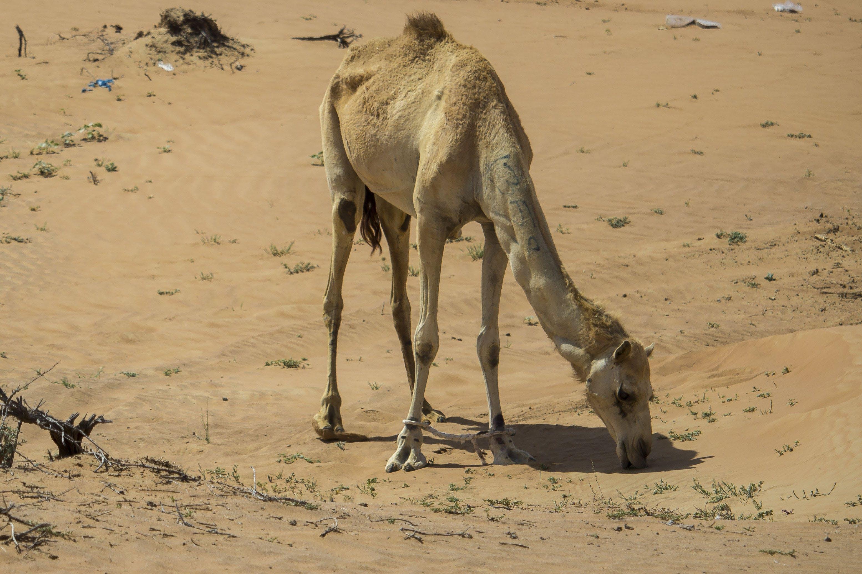 Kostenloses Stock Foto zu alleinig, arabian kamel, caldo, cammello