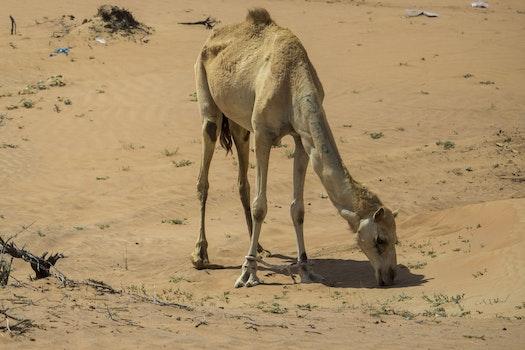 Free stock photo of dubai, sole, emirates, Arabian camel