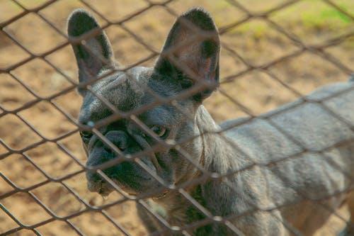 Darmowe zdjęcie z galerii z buldog, fechtować, fotografia psów, fotografia zwierzęcia