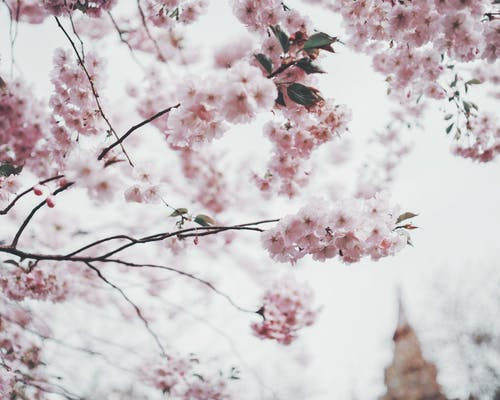 Pink Cherry Blossom Tree In Selective Focus Photography
