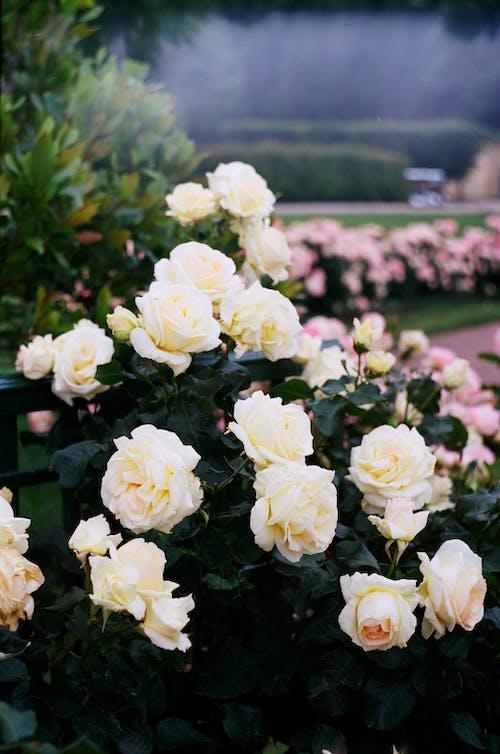 Selective Focus of Garden Roses