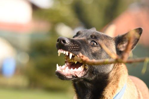 Gratis stockfoto met babyhond, beest, belgische mechelaar, bordspel