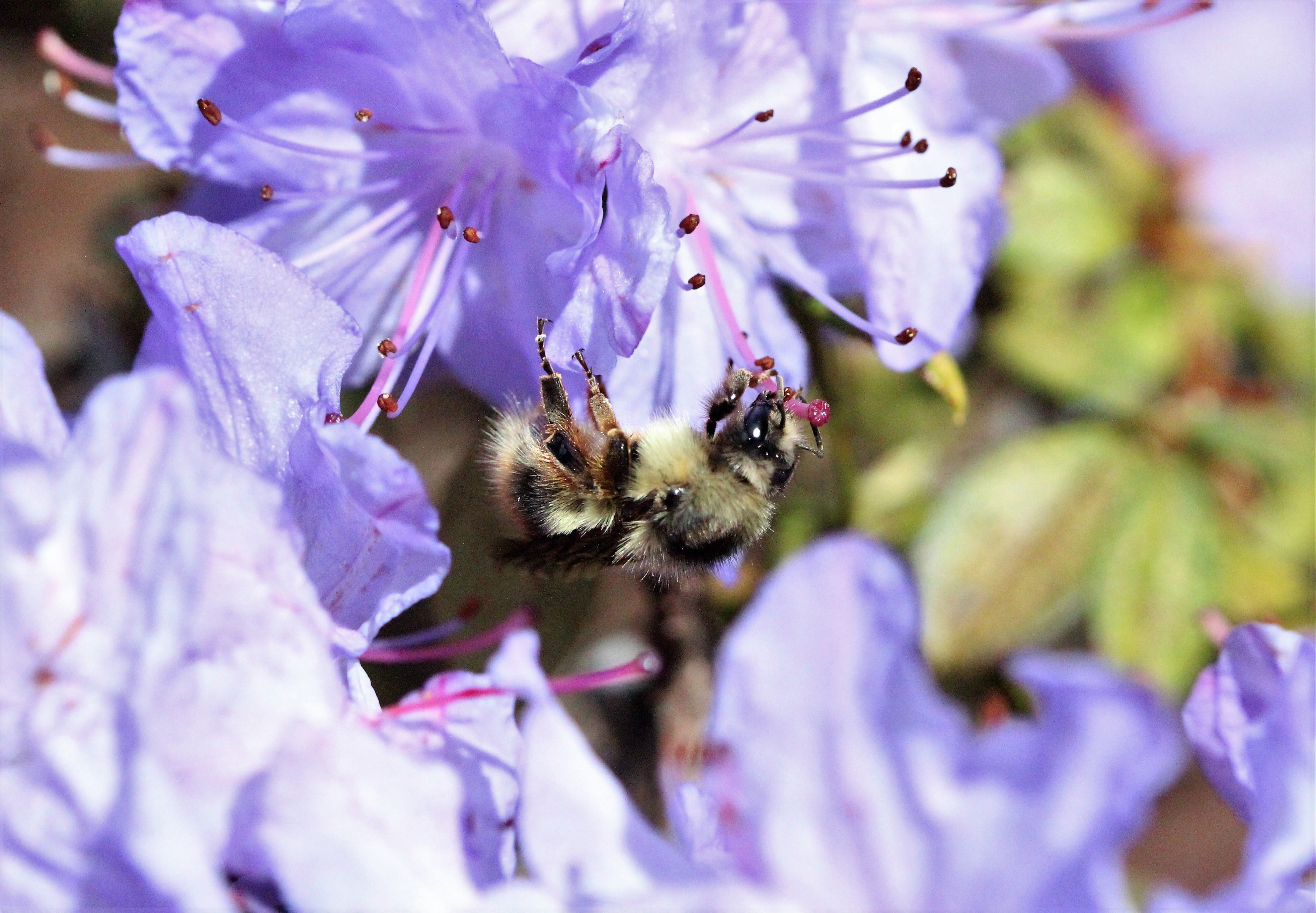 Free stock photo of bee, flower, nature, purple