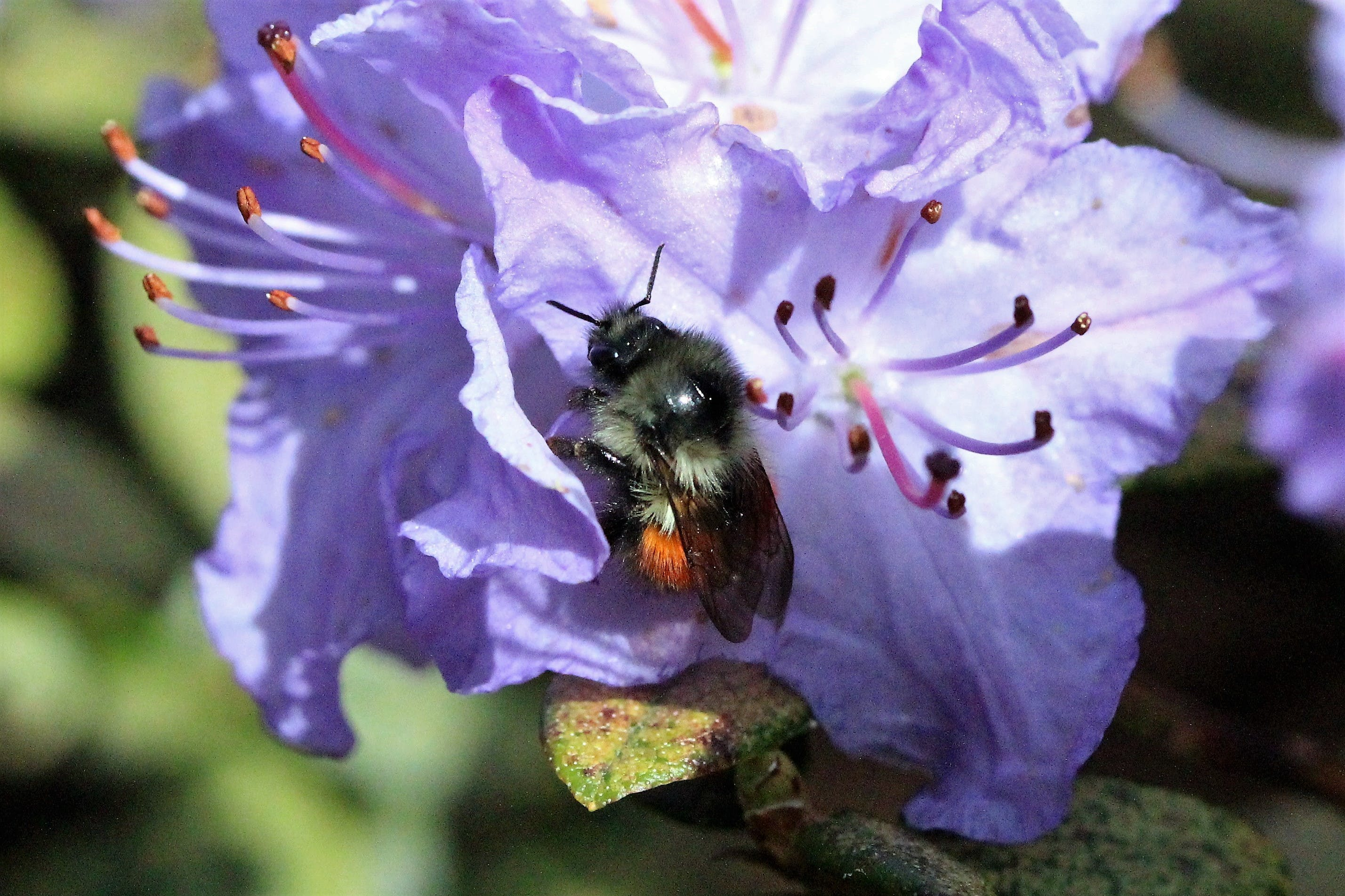 Free stock photo of bee, flower, purple