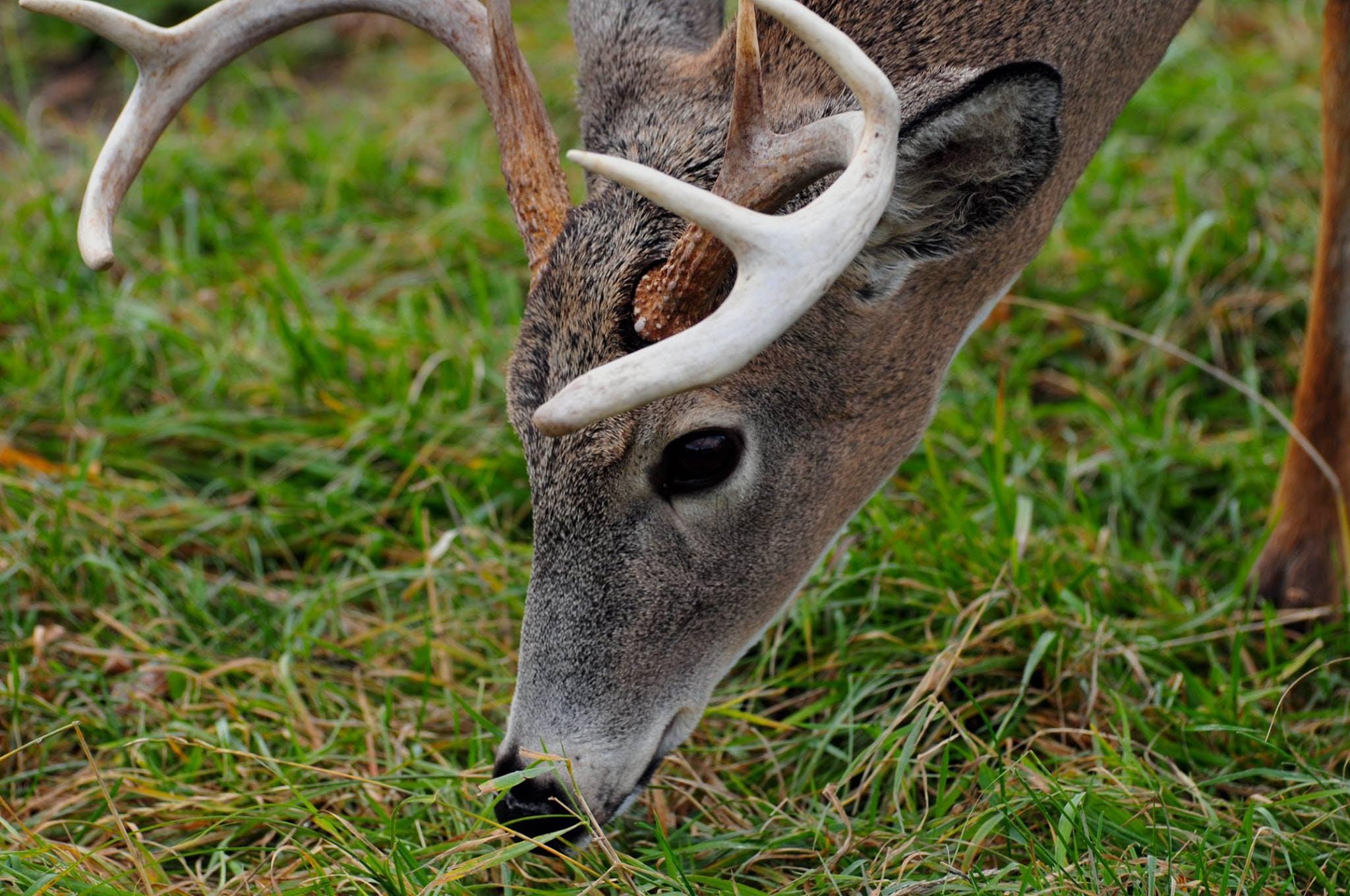 Gray Deer Eating Grass