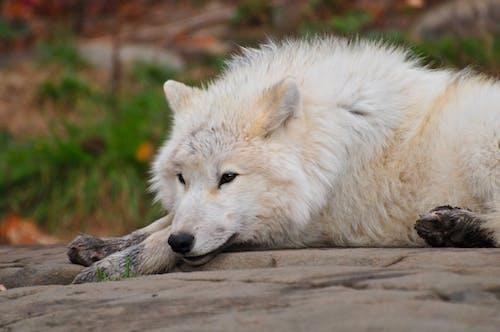 北極, 捕食者, 毛皮, 狼 的 免费素材照片