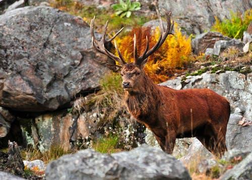 毛皮, 紅色, 鹿, 鹿角 的 免费素材照片