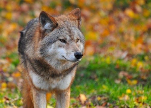 Fotos de stock gratuitas de animal, animal salvaje, bigotes, canino
