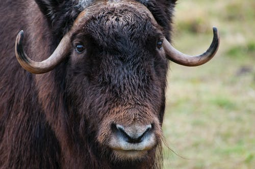 Free stock photo of fur, horns, Musk, ox