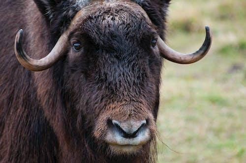 Fotos de stock gratuitas de almizcle, buey, fauna, pelo