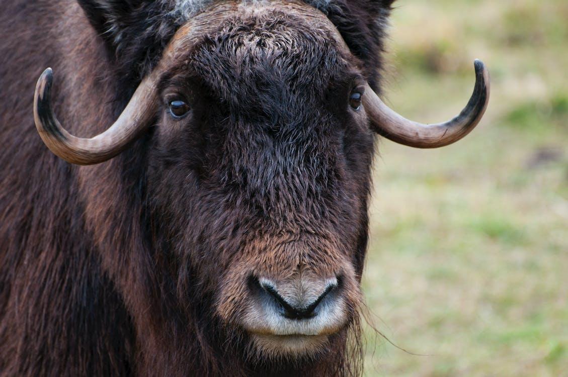 almíscar, animais selvagens, boi