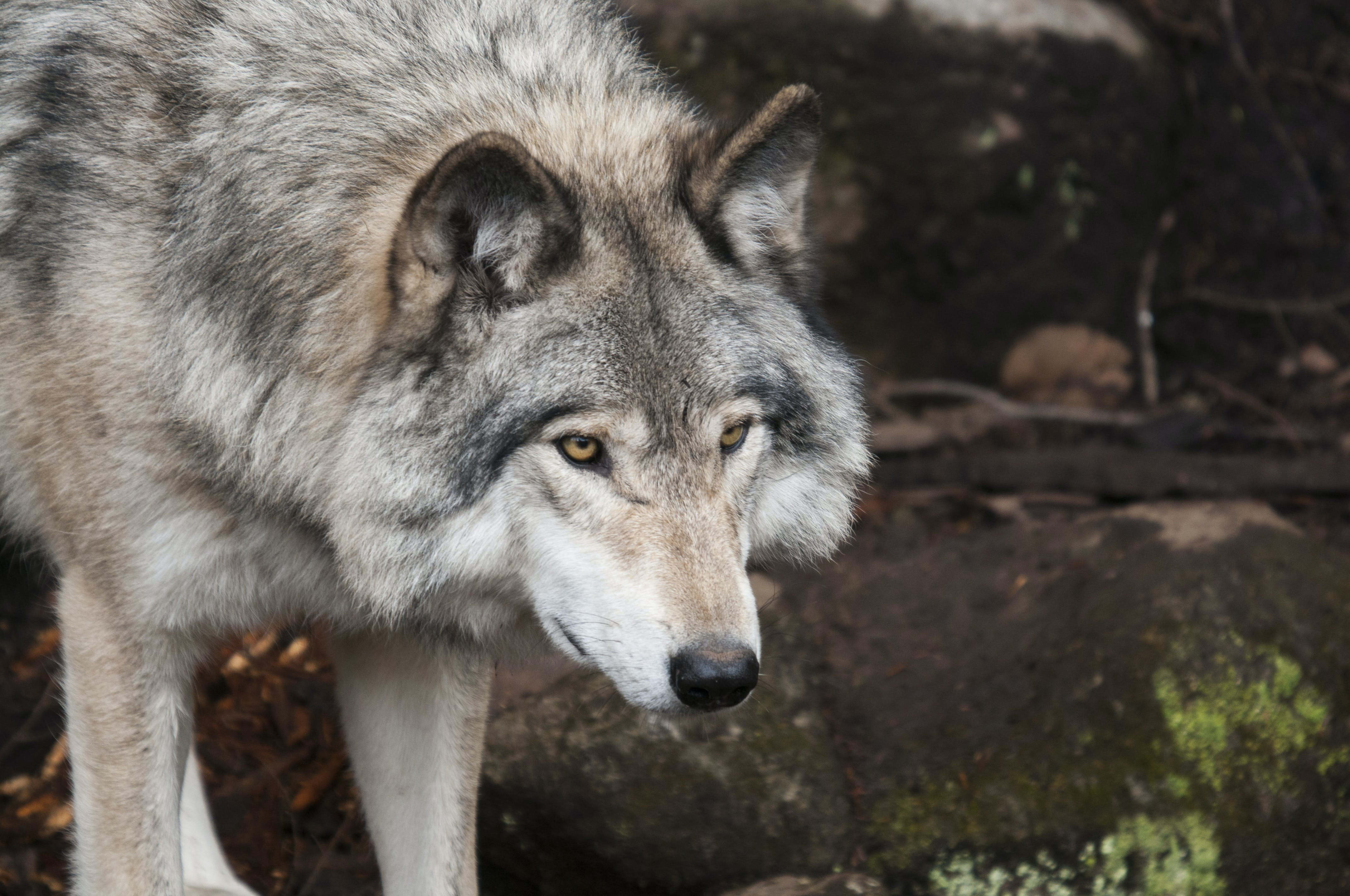 Wolf Standing on Stone
