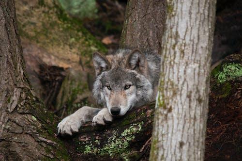 Бесплатное стоковое фото с волк, дикая природа, лес, лесоматериал