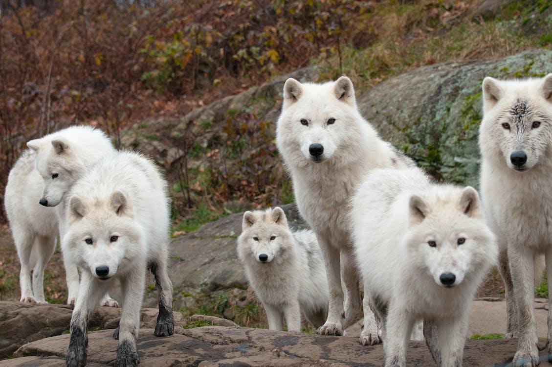 Безкоштовне стокове фото на тему «Арктика, арктичний, вовк»