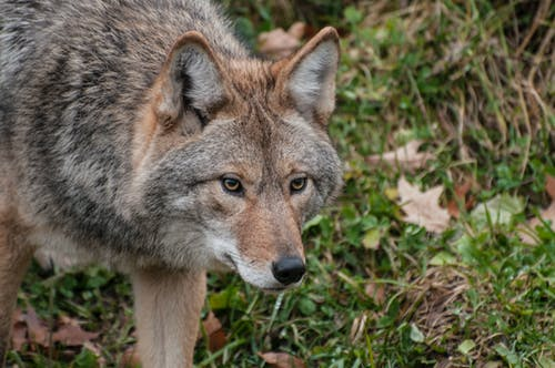 Free stock photo of carnivore, coyote, fur