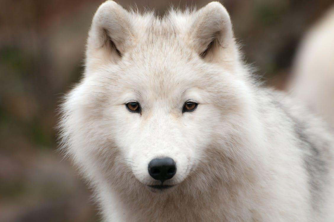 Fotos de stock gratuitas de ártico, carnívoro, depredador