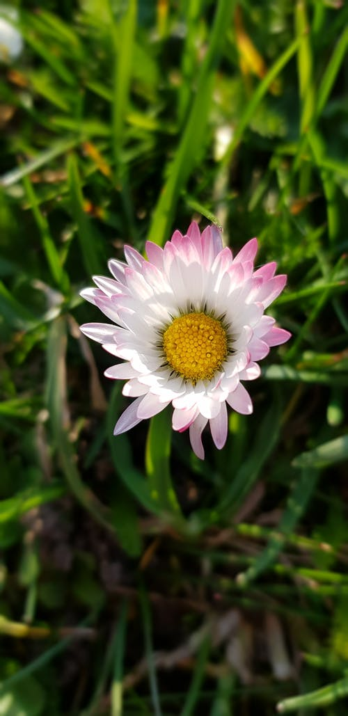 Free stock photo of close up, daisy, flower, nature