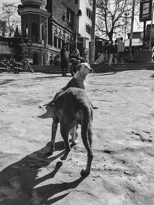 Free stock photo of black and white background, bnw, monochrome photography, street dog