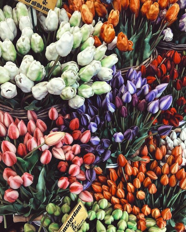 Gratis stockfoto met Amsterdam, bloeien, bloemblaadjes