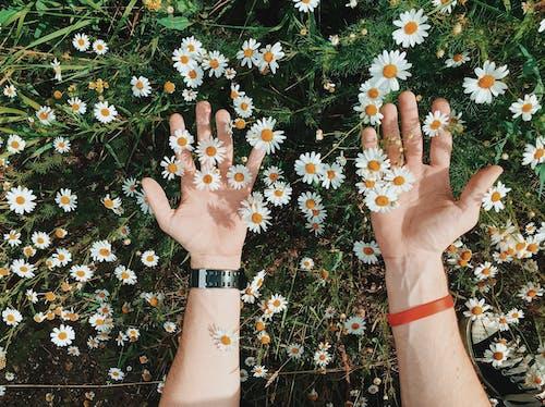 Kostenloses Stock Foto zu blumen, blütenblätter, flora, gänseblümchen