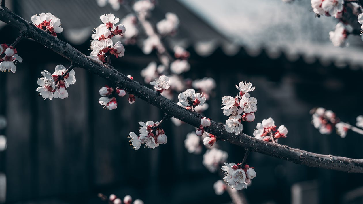 White and Red Cherry Blossom Flowers