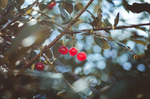 Darmowe zdjęcie z galerii z drzewo, natura, słodka wiśnia, wiśnia