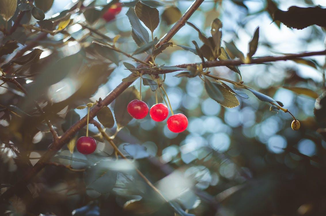 나무, 달콤한 체리, 자연