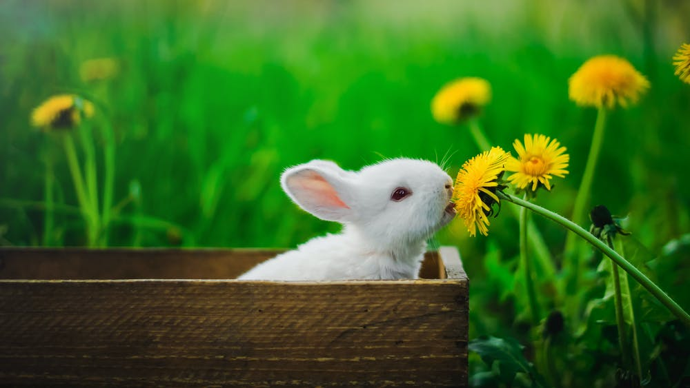 A white rabbit sitting inside a brown wooden box.   Photo: Pexels