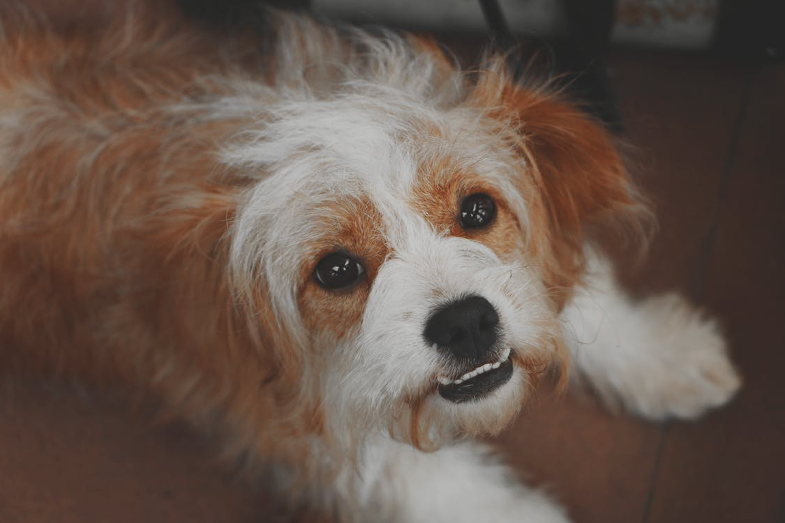 Long-coated Brown and White Dog