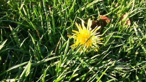 Free stock photo of dandelion, flower, grass