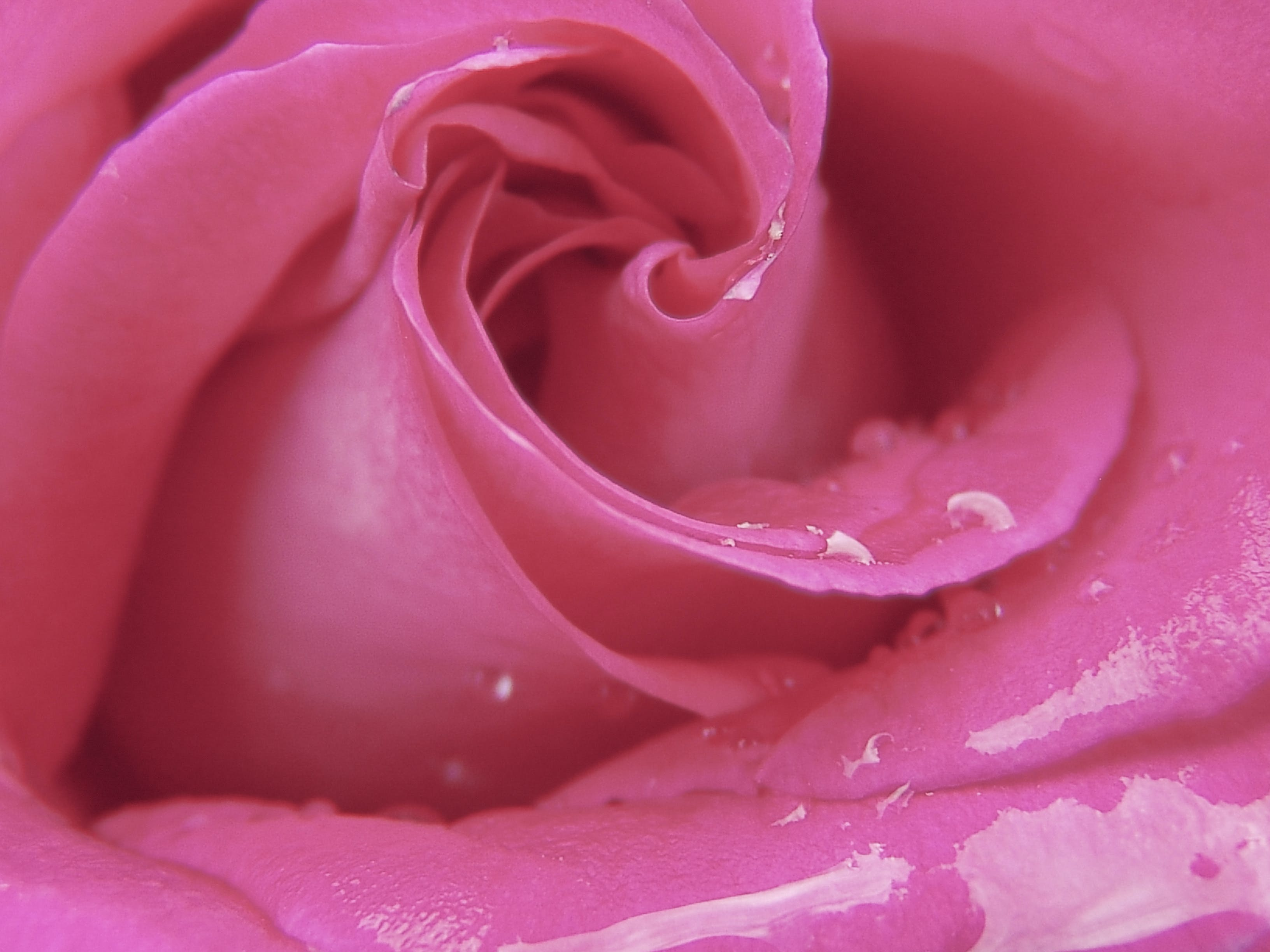 Macro Photography of Pink Rose