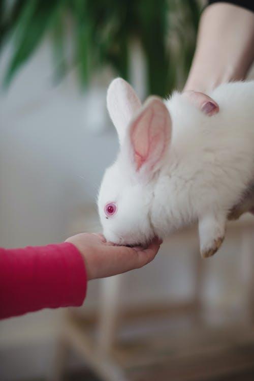 Person Feeding White Rabbit