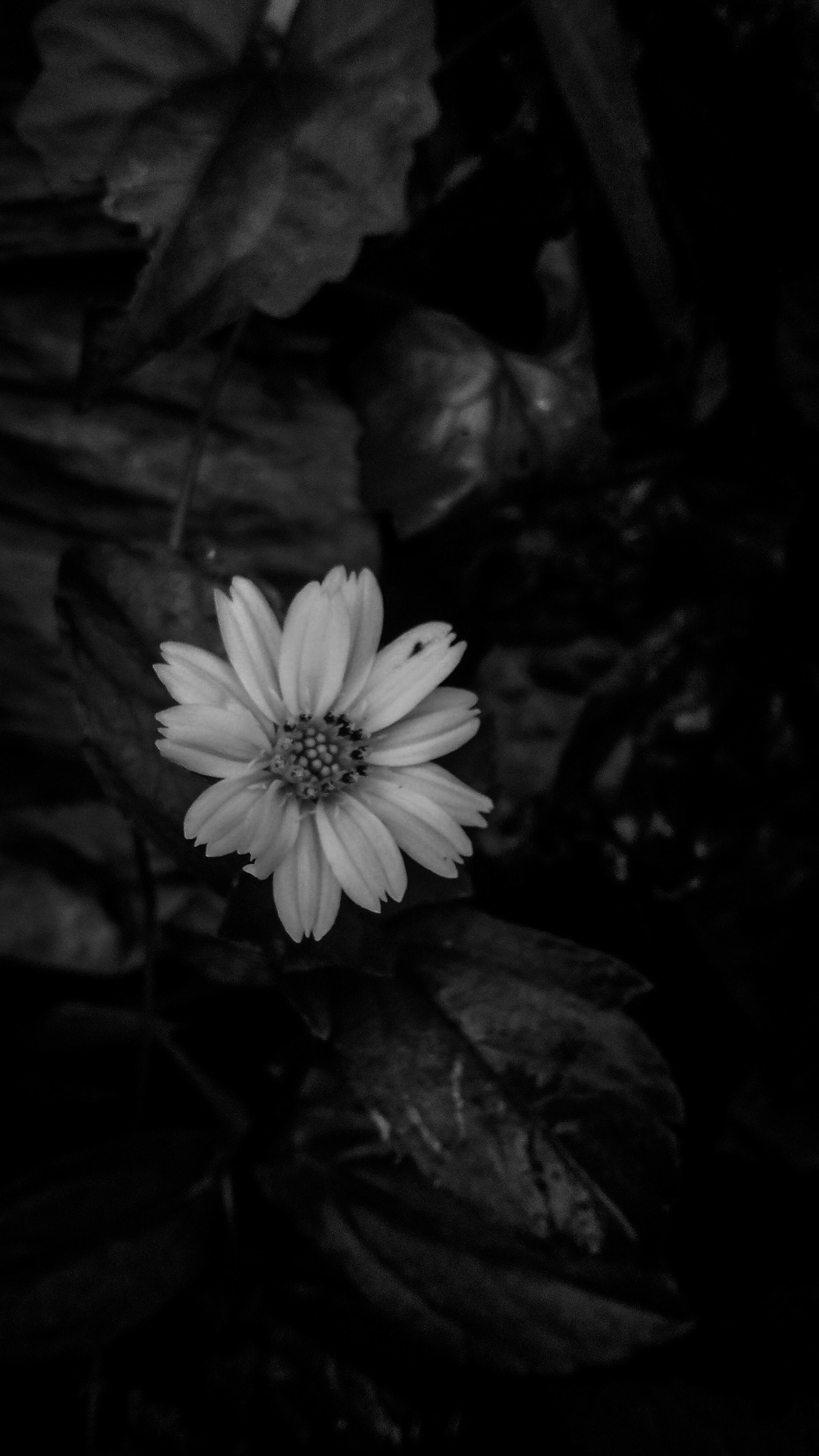 Free Stock Photo Of Beautiful Flowers Black And White Flowers