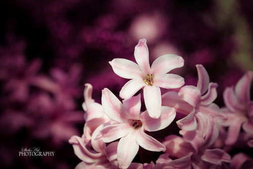 Free stock photo of flower, hyacinth, nature