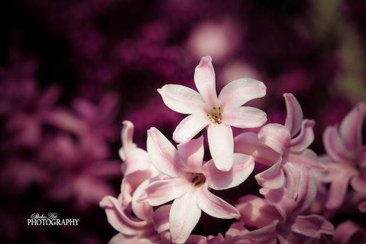 Free stock photo of nature, flower, hyacinth