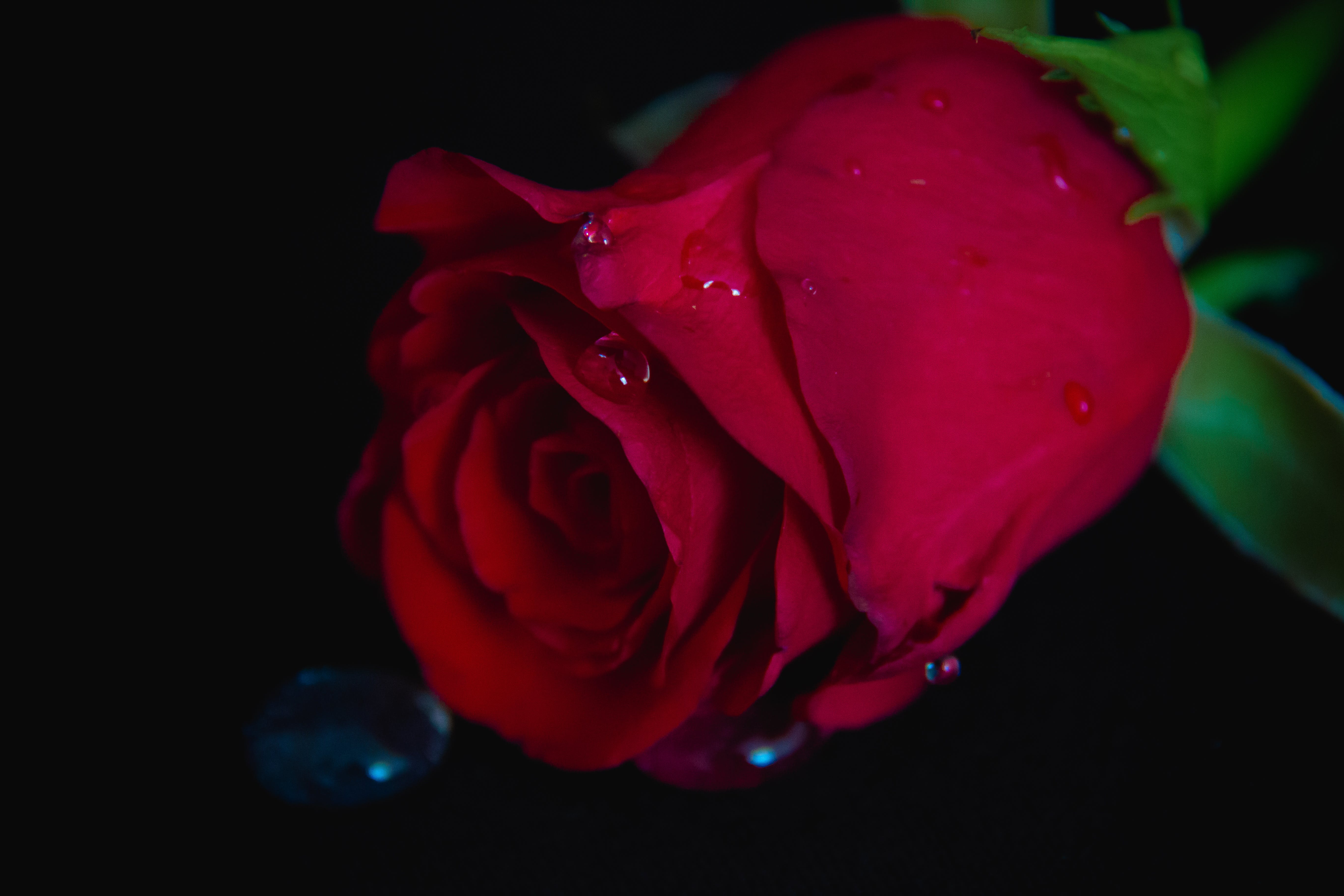 Free stock photo of flower, red, rose, waterdrops