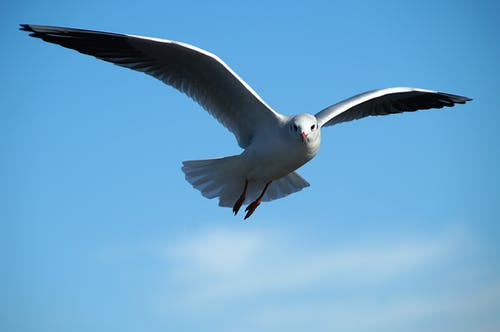Low Angle Photography of Ring-billed Gull Flying Under the Sky