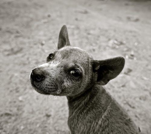 Kostenloses Stock Foto zu haustier, hund, niedlich, schwarz und weiß