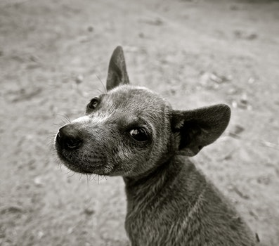 Short Coated Puppy Grayscale Photo