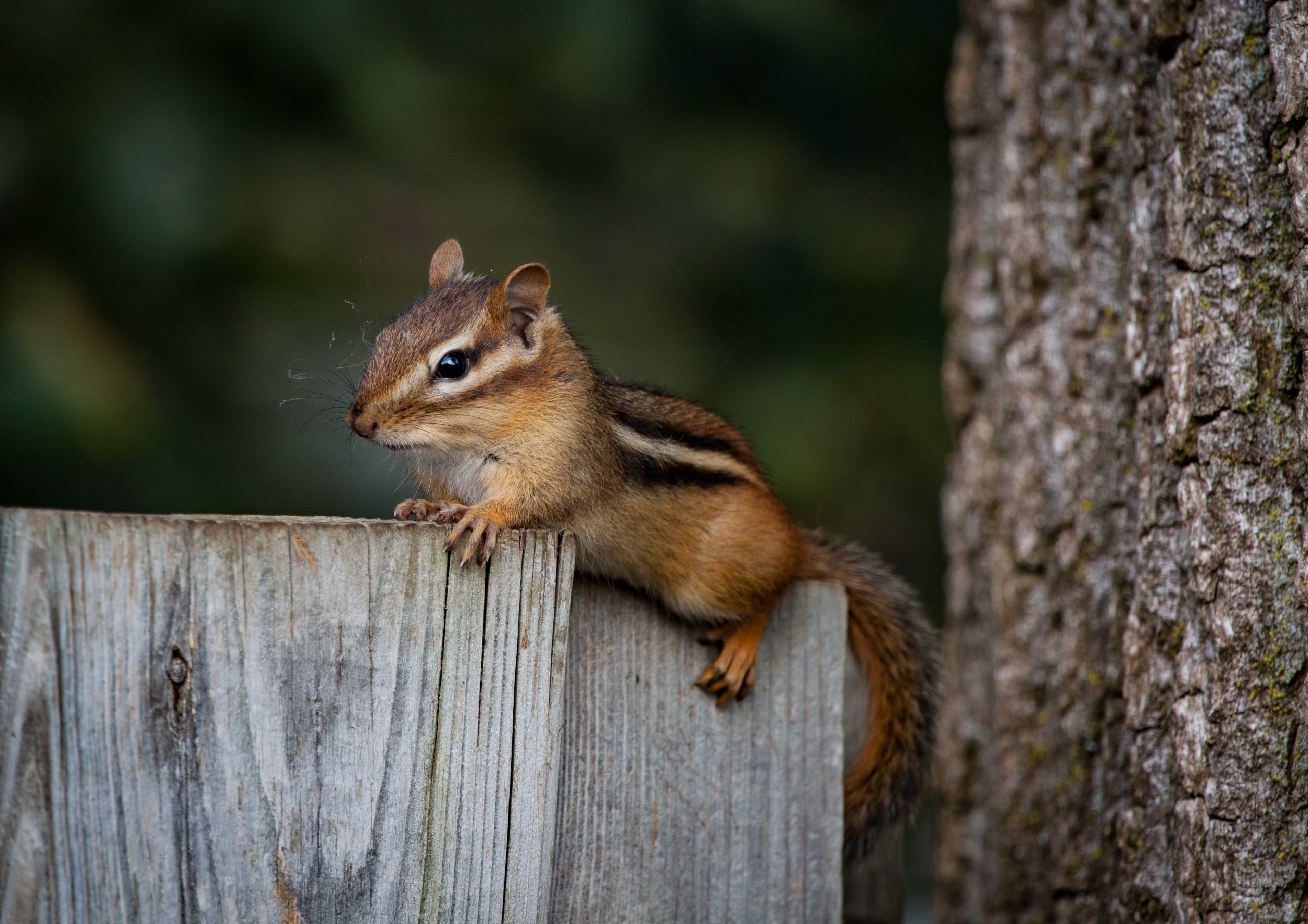 Fotos de stock gratuitas de animal, ardilla rayada