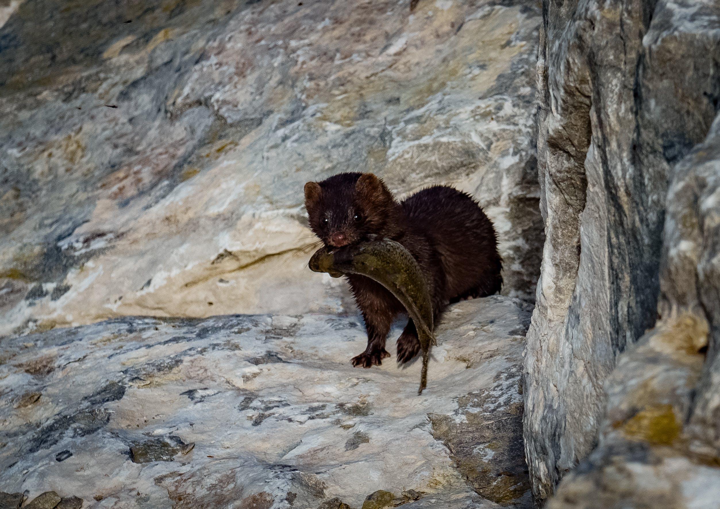 Free stock photo of animal, weasel