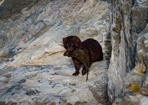 動物, 黄鼠狼 的 免费素材照片