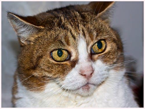 Бесплатное стоковое фото с животное, кошка