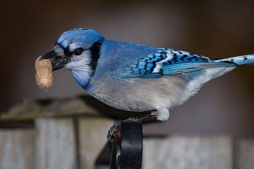 花生, 蓝松鸦 的 免费素材照片