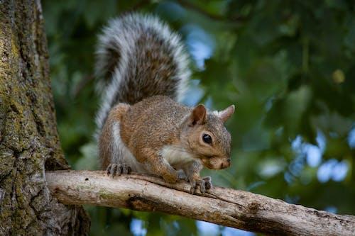 動物, 松鼠 的 免费素材照片